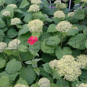 Pflanzen 001 – Hortensien - Whomp.de