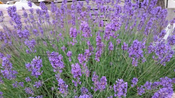 Pflanzen 002 – Lavendel - Whomp.de
