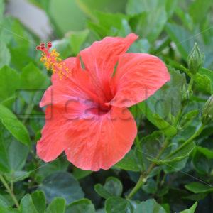 Pflanzen 007 – Hibiscus - Whomp.de