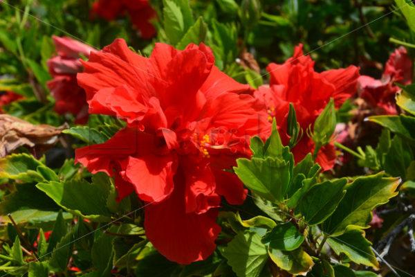 Pflanzen 009 – Hibiscus - Whomp.de