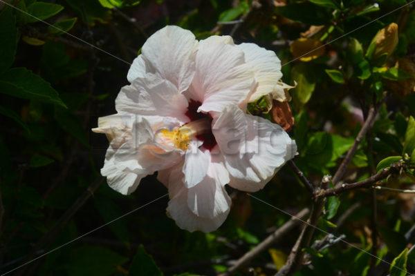 Pflanzen 011 – Hibiscus - Whomp.de
